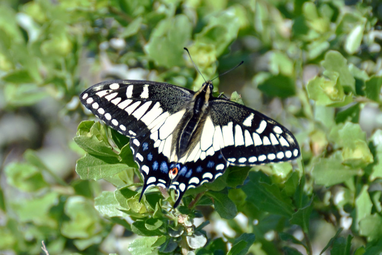 one animal, animal themes, animals in the wild, insect, butterfly - insect, butterfly, animal wildlife, leaf, nature, animal markings, no people, close-up, outdoors, plant, growth, day, beauty in nature, fragility, full length, spread wings, perching, pollination, freshness