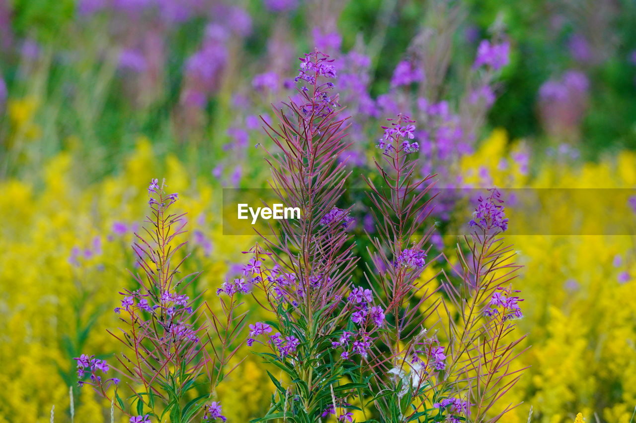 flowering plant, flower, plant, growth, beauty in nature, freshness, vulnerability, fragility, close-up, field, no people, land, focus on foreground, nature, day, purple, selective focus, yellow, petal, abundance, flower head, outdoors, flowerbed