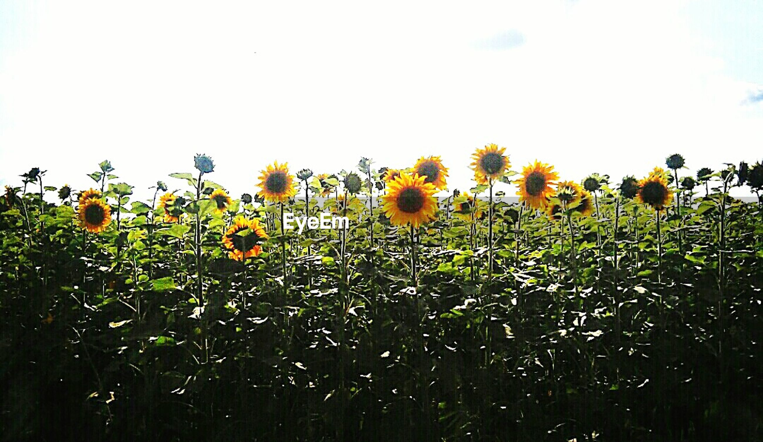 flower, growth, freshness, yellow, clear sky, beauty in nature, field, fragility, nature, plant, copy space, agriculture, abundance, blooming, sky, rural scene, petal, sunflower, tranquility, growing