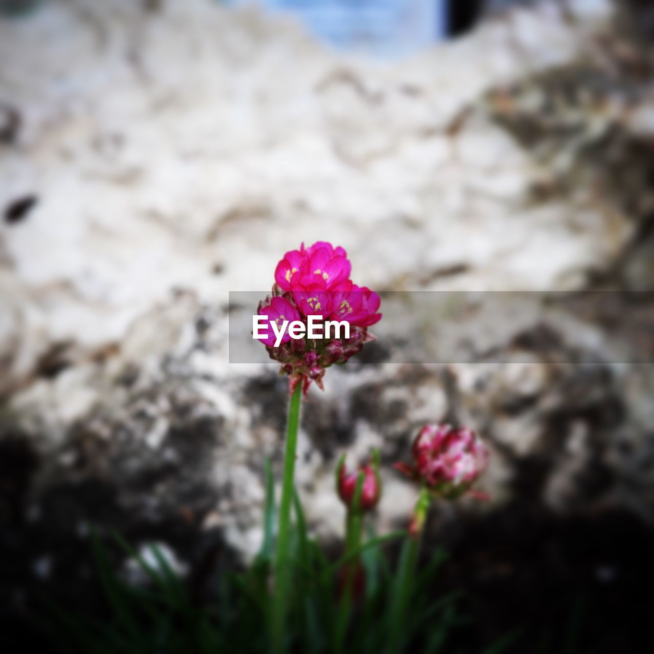 flower, pink color, fragility, nature, beauty in nature, petal, flower head, freshness, focus on foreground, growth, outdoors, day, no people, blooming, plant, close-up, zinnia, periwinkle
