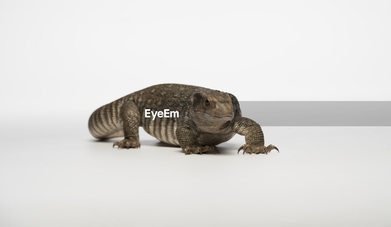 Close-up of reptile against white background
