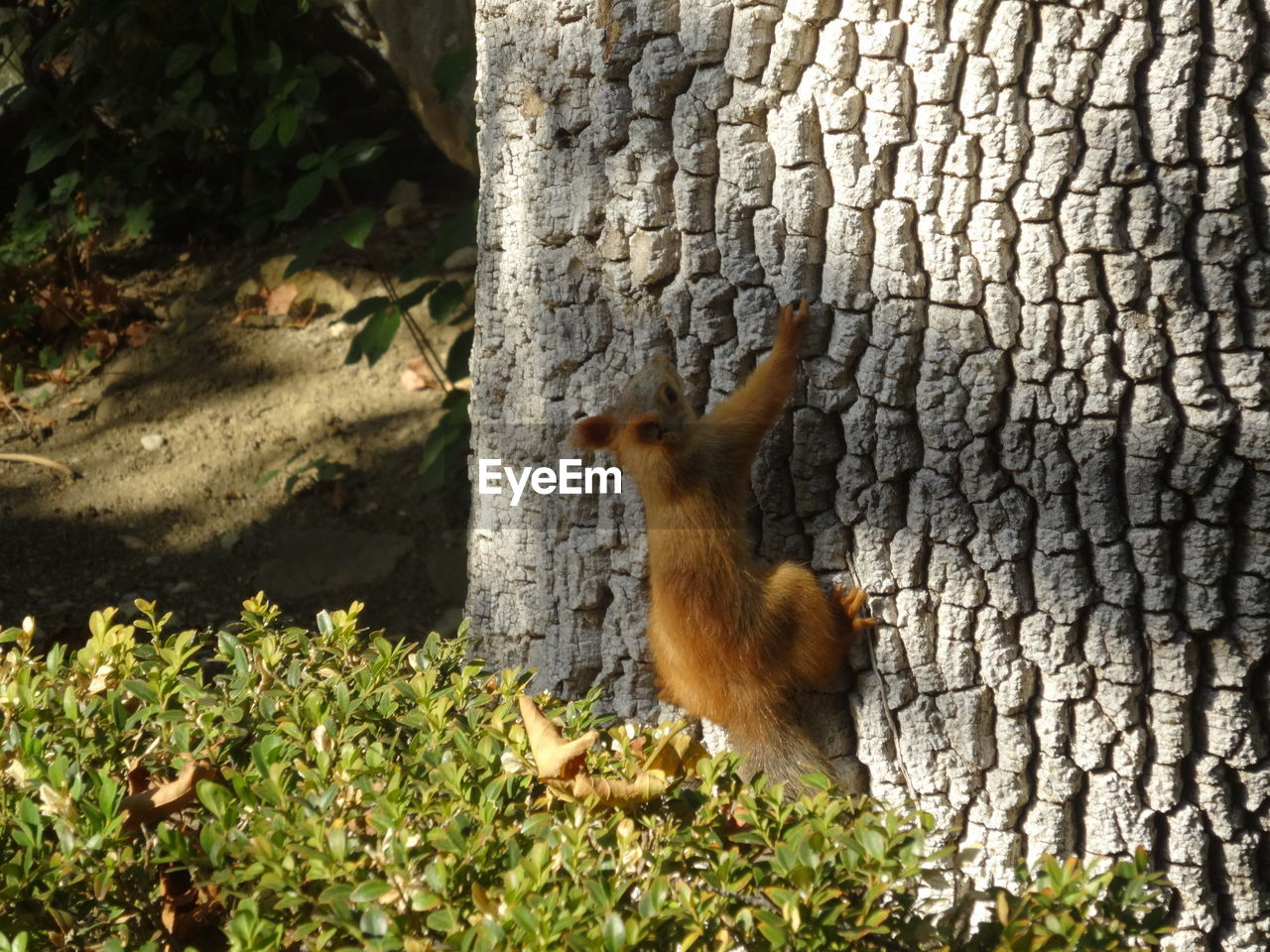 animal themes, animal, one animal, animal wildlife, mammal, animals in the wild, vertebrate, rodent, no people, squirrel, nature, day, tree trunk, trunk, plant, tree, outdoors, plant part, side view, tail
