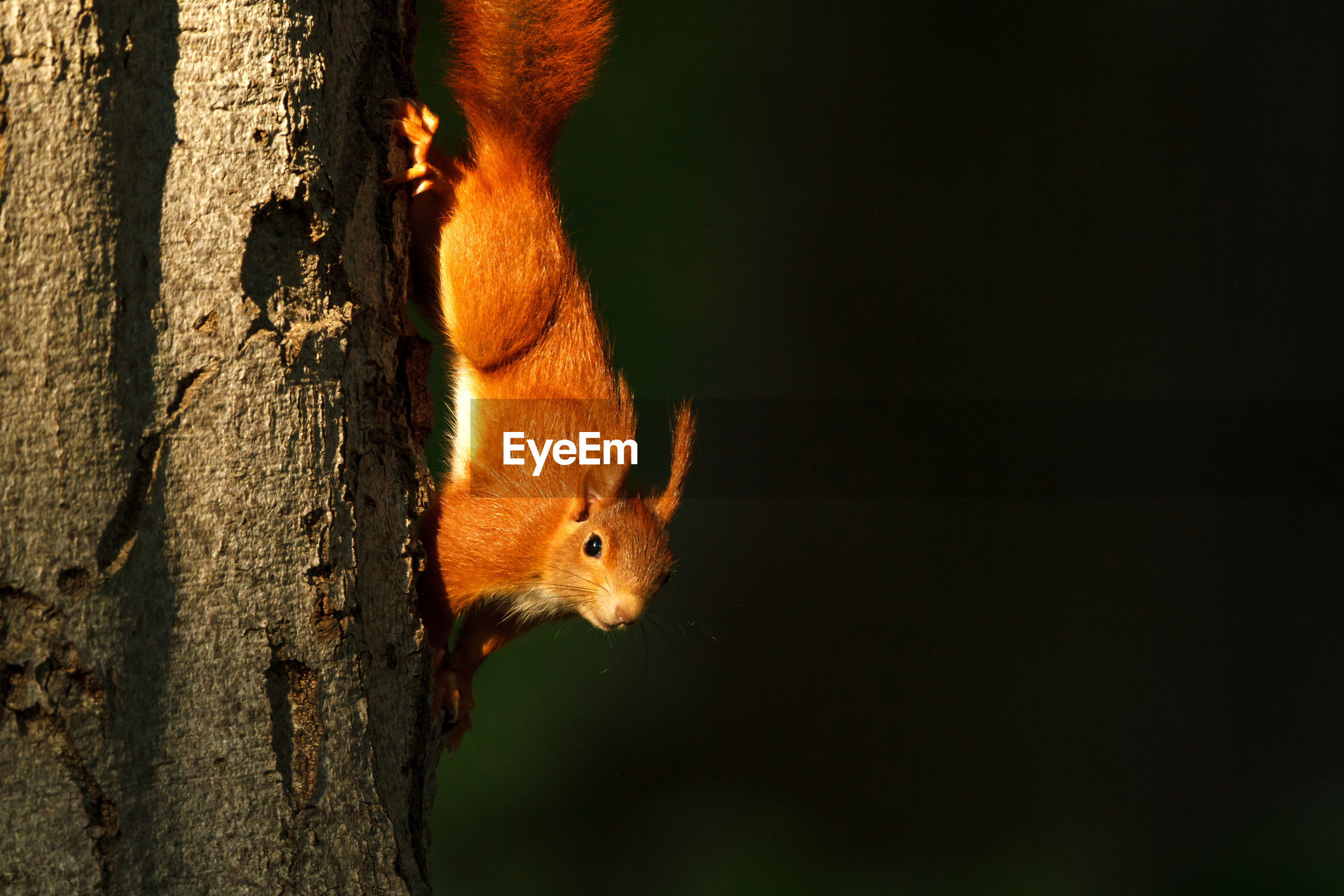 Close-up of red squirrel on tree trunk during sunset