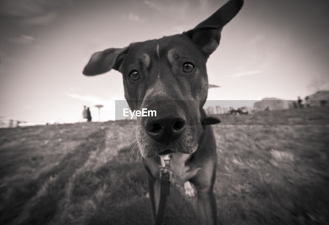 domestic animals, mammal, domestic, pets, looking at camera, one animal, portrait, dog, vertebrate, canine, field, land, close-up, focus on foreground, nature, no people, animal body part, outdoors, animal mouth, snout, animal nose