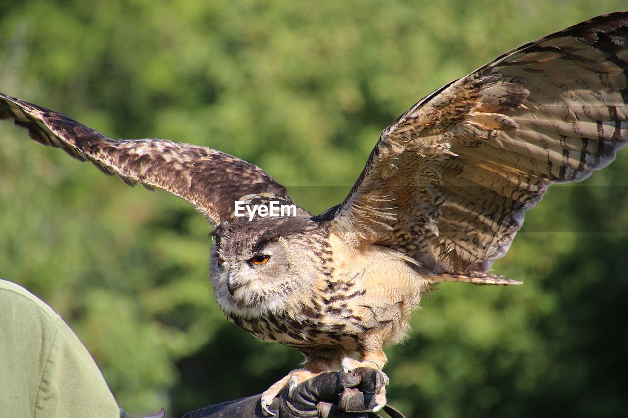 Hawk Flapping Wings While Perching On Human Hand