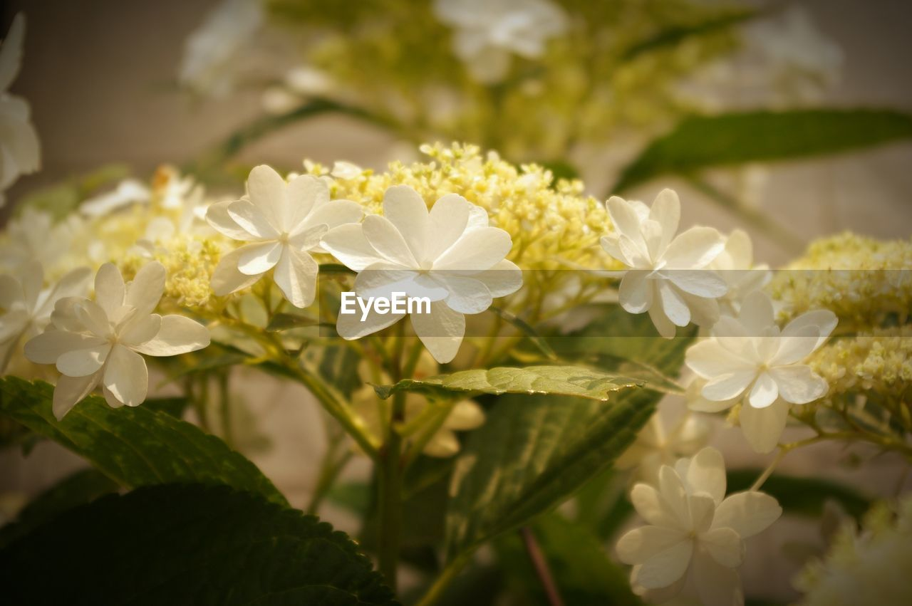 flowering plant, flower, fragility, vulnerability, freshness, beauty in nature, plant, petal, white color, growth, close-up, nature, flower head, inflorescence, focus on foreground, no people, day, plant part, leaf, outdoors