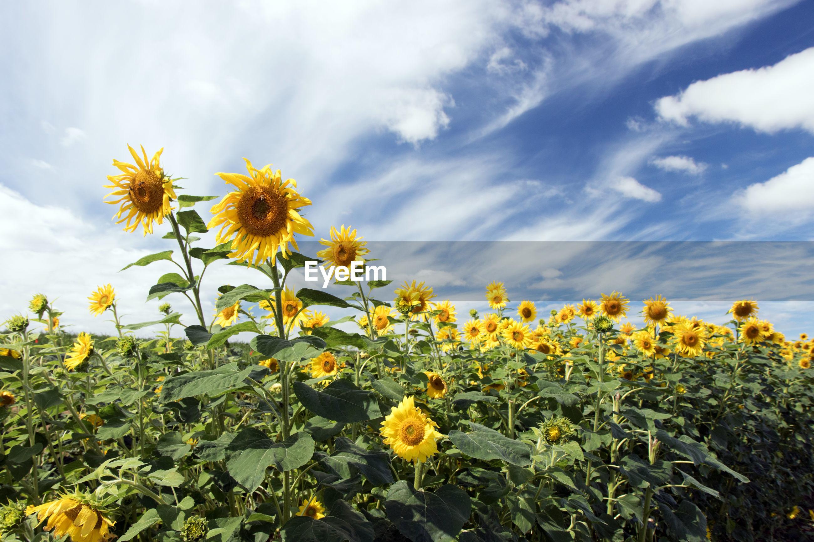 CLOSE-UP OF YELLOW SUNFLOWER FIELD