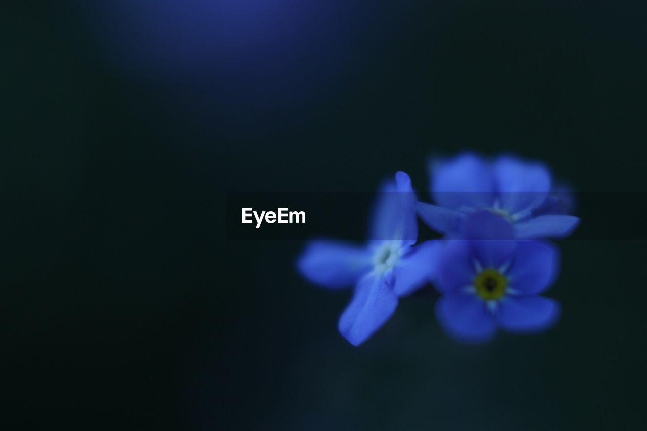 flower, petal, fragility, beauty in nature, purple, flower head, nature, freshness, blue, copy space, no people, blooming, growth, close-up, studio shot, plant, black background, night, outdoors