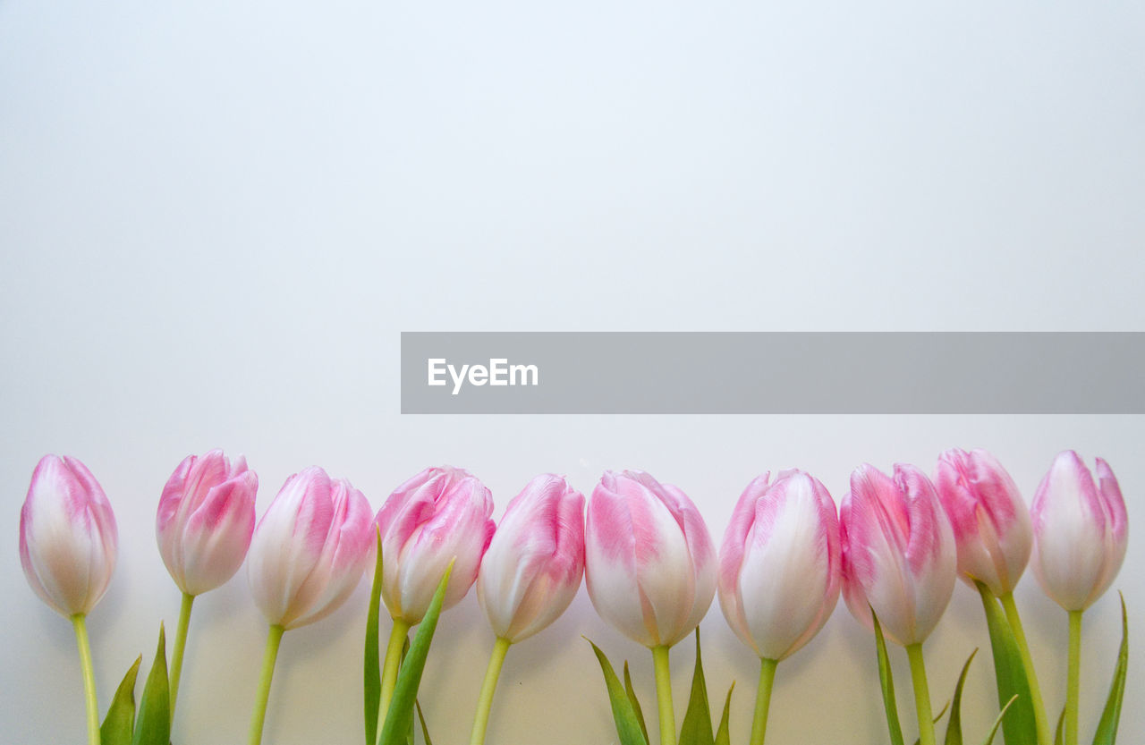 flower, flowering plant, beauty in nature, freshness, vulnerability, fragility, plant, pink color, petal, close-up, copy space, studio shot, nature, no people, flower head, white background, inflorescence, growth, indoors, tulip, softness