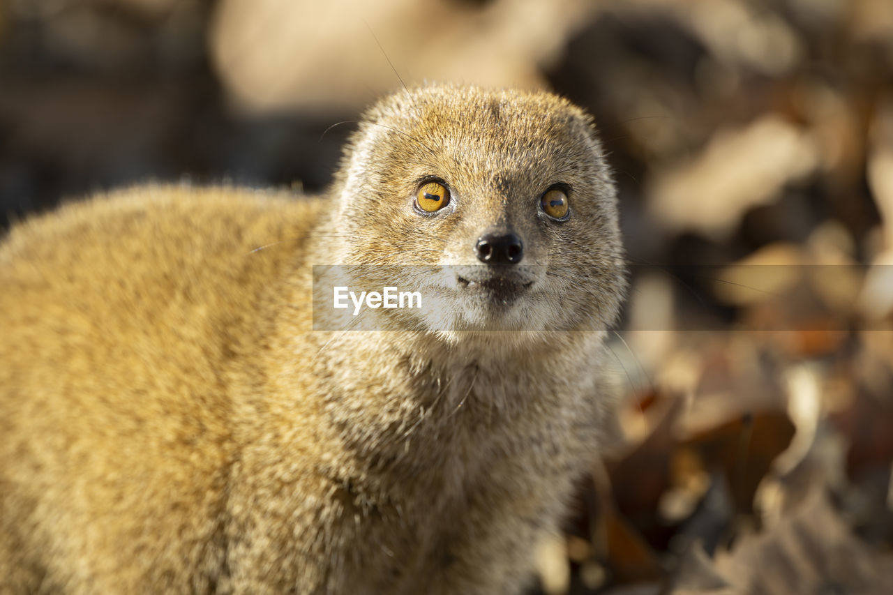 animal, animal themes, one animal, animal wildlife, animals in the wild, focus on foreground, mammal, close-up, vertebrate, no people, portrait, looking at camera, day, nature, outdoors, sunlight, field, land, brown, whisker, animal head, animal eye