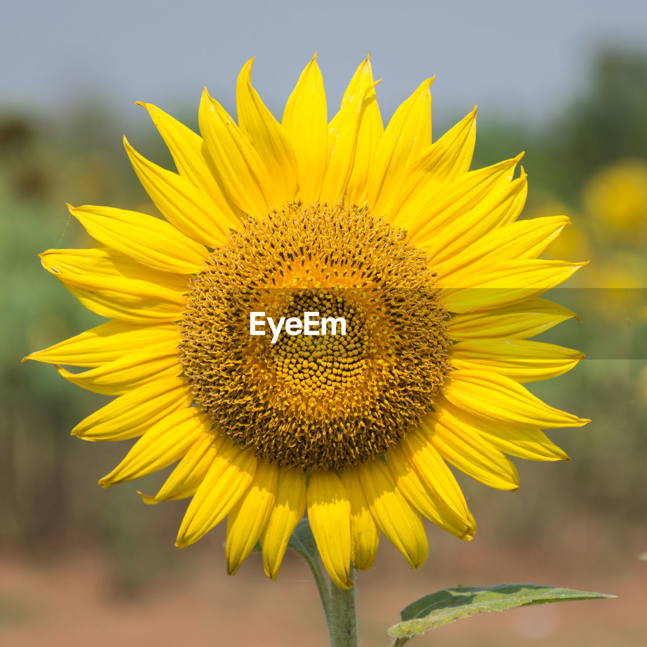 flower, yellow, fragility, petal, freshness, flower head, close-up, beauty in nature, nature, sunflower, growth, focus on foreground, plant, outdoors, day, no people, sky