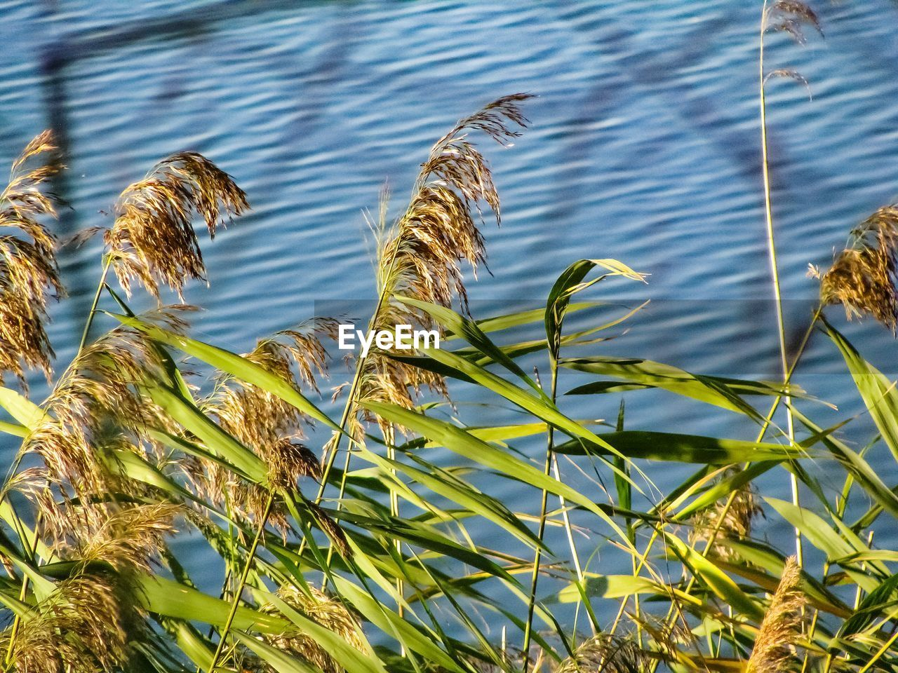 growth, nature, water, plant, lake, outdoors, no people, day, tranquility, beauty in nature, green color, grass, close-up