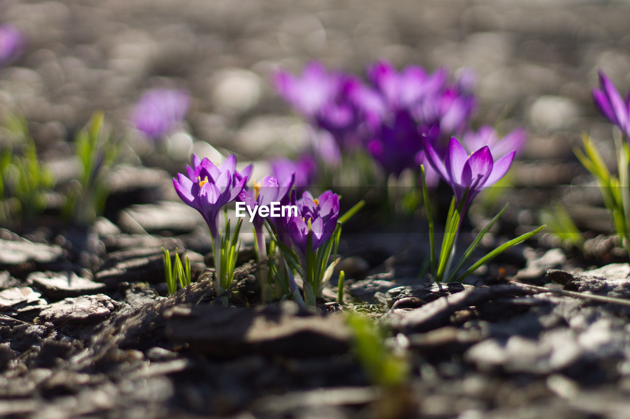 flower, flowering plant, plant, growth, beauty in nature, selective focus, freshness, nature, vulnerability, fragility, close-up, day, no people, land, field, petal, purple, outdoors, sunlight, flower head, crocus, iris