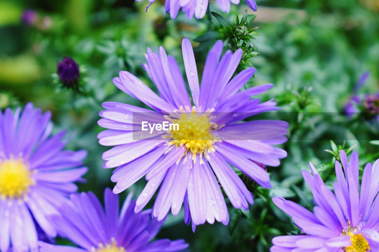 flowering plant, flower, freshness, plant, petal, vulnerability, fragility, beauty in nature, growth, close-up, flower head, inflorescence, focus on foreground, no people, day, purple, nature, selective focus, outdoors, park - man made space, pollen, gazania