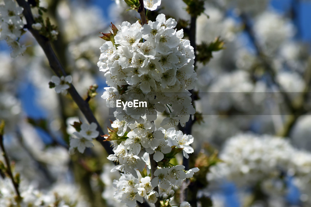 flower, fragility, blossom, white color, beauty in nature, nature, tree, apple blossom, botany, springtime, freshness, growth, branch, apple tree, orchard, day, no people, twig, petal, outdoors, focus on foreground, flower head, close-up, low angle view, blooming