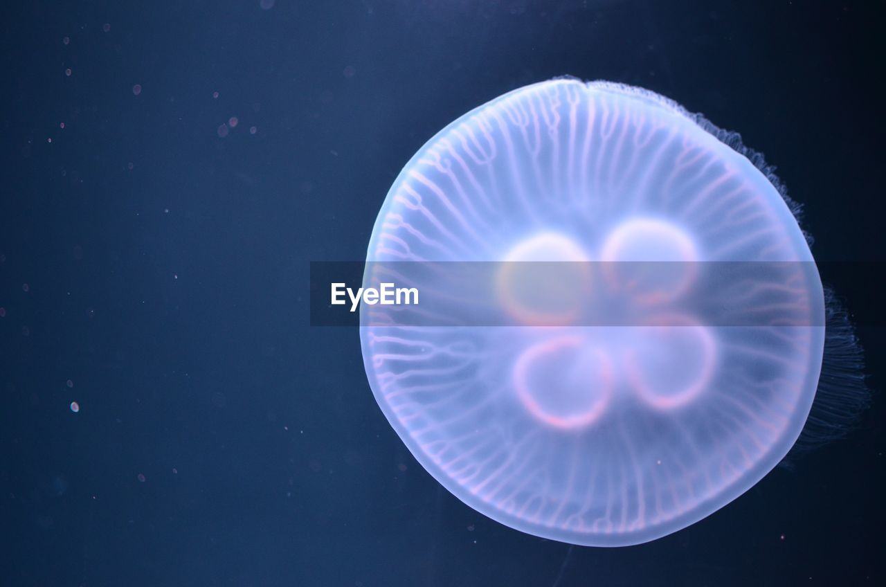 Close-Up Of Jellyfish Against Blue Background