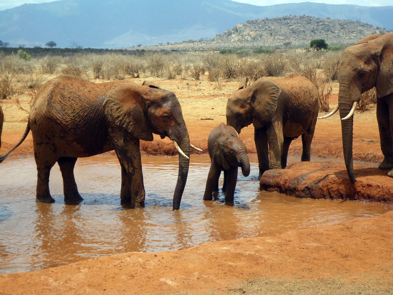 elephant, group of animals, animal themes, animal, animals in the wild, mammal, animal wildlife, water, safari, nature, day, vertebrate, waterfront, no people, lake, landscape, young animal, environment, outdoors, herbivorous, animal family, african elephant, animal trunk, drinking