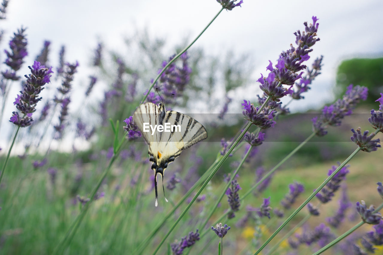 flower, flowering plant, plant, beauty in nature, freshness, growth, vulnerability, purple, fragility, petal, flower head, invertebrate, insect, animal, one animal, animals in the wild, animal themes, nature, animal wildlife, close-up, butterfly - insect, no people, animal wing, pollination, lavender, outdoors, butterfly