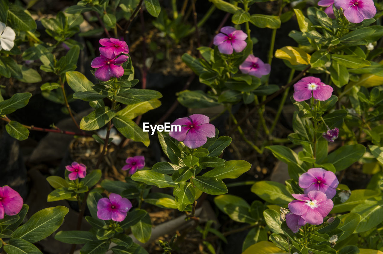 flower, growth, pink color, fragility, plant, beauty in nature, no people, green color, nature, leaf, high angle view, day, freshness, petal, outdoors, periwinkle, blooming, flower head, close-up