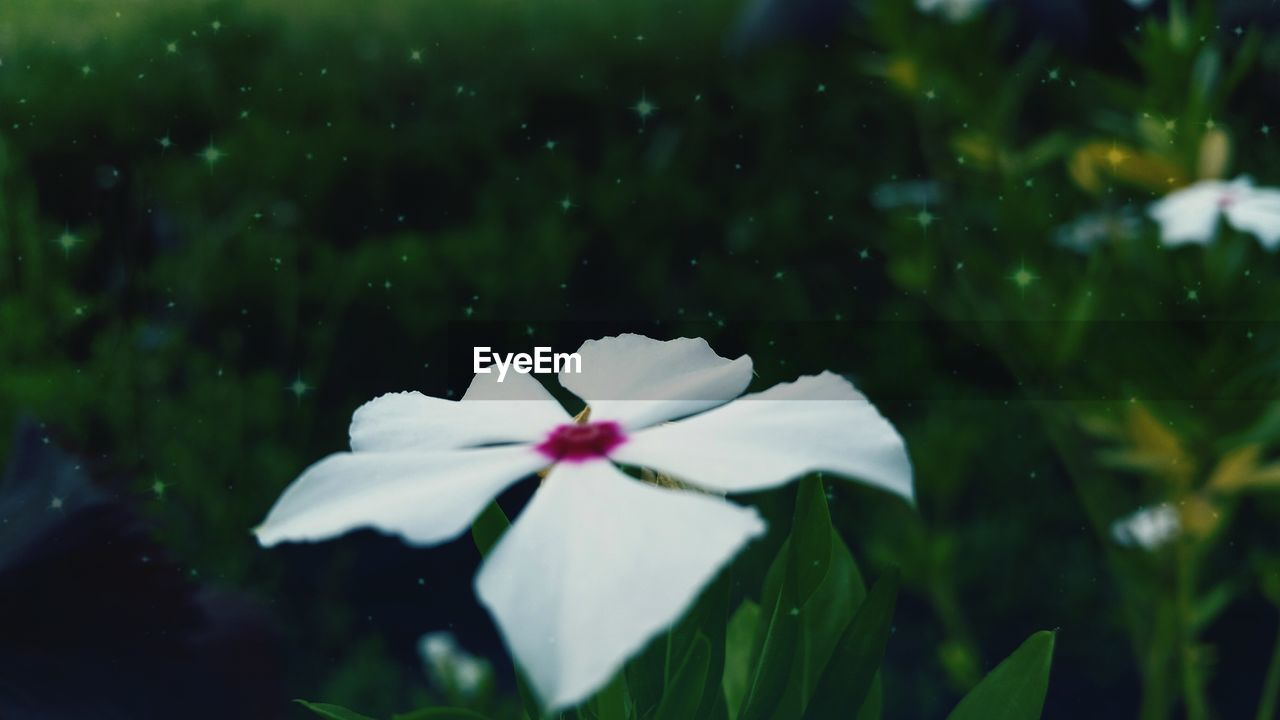 flower, petal, fragility, white color, green color, nature, beauty in nature, flower head, growth, freshness, periwinkle, close-up, blooming, outdoors, day, no people
