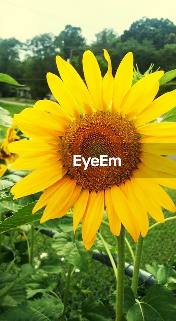 flower, yellow, petal, fragility, nature, growth, beauty in nature, plant, freshness, flower head, field, outdoors, sunflower, day, springtime, no people, pollen, blooming, close-up, sky