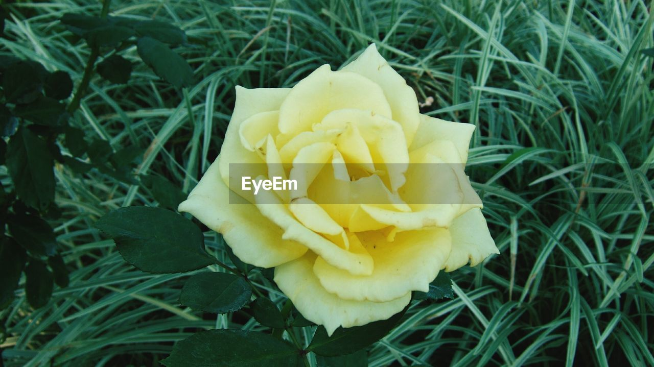 flower, yellow, petal, freshness, nature, growth, beauty in nature, flower head, fragility, plant, no people, close-up, grass, field, outdoors, blooming, day