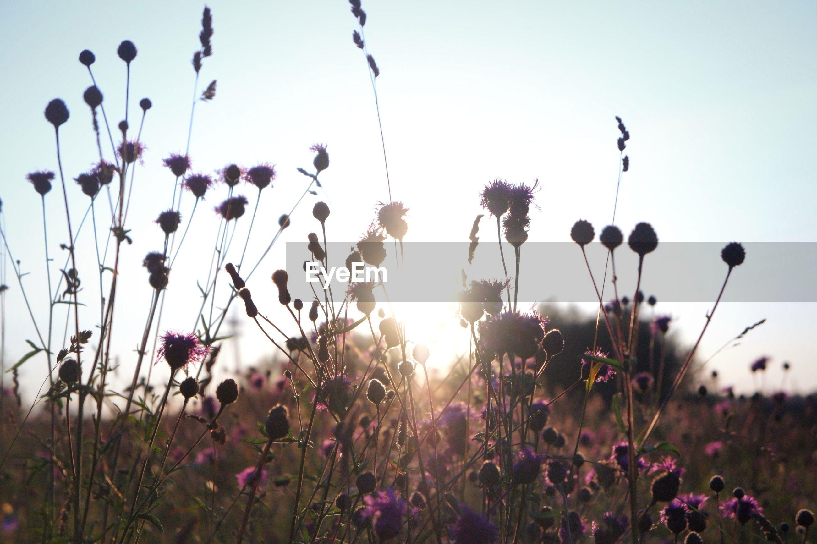 PINK FLOWERS BLOOMING ON FIELD