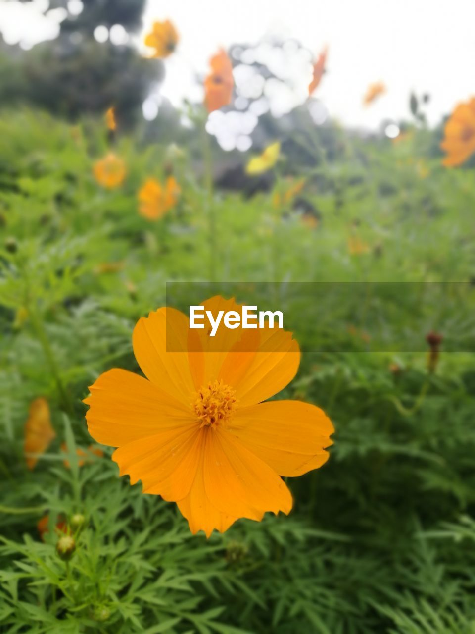 flower, petal, nature, beauty in nature, yellow, growth, flower head, plant, blooming, fragility, freshness, focus on foreground, close-up, outdoors, no people, day, cosmos flower