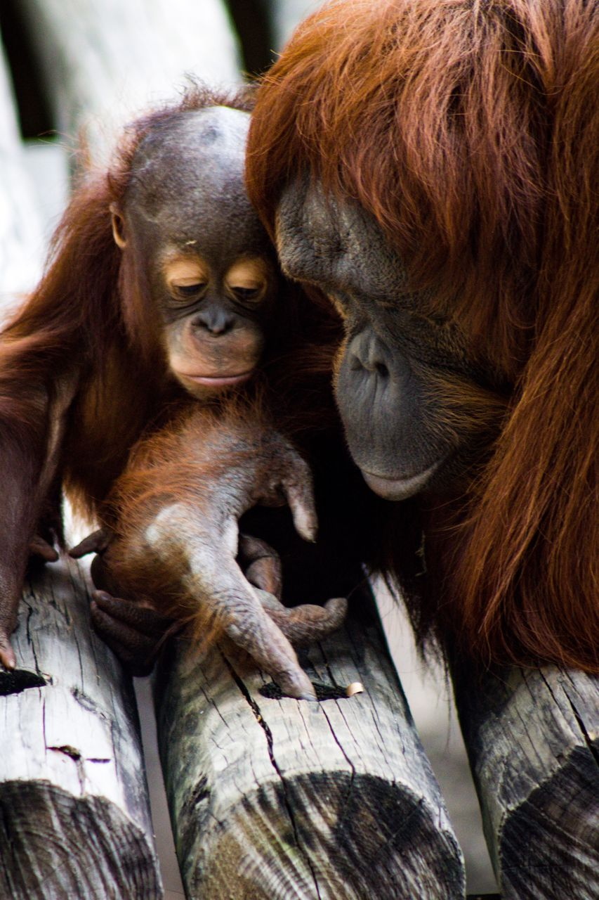 group of animals, monkey, primate, mammal, animal, animal themes, two animals, togetherness, animal family, young animal, orangutan, animal wildlife, ape, female animal, no people, animals in the wild, vertebrate, wood - material, day, care
