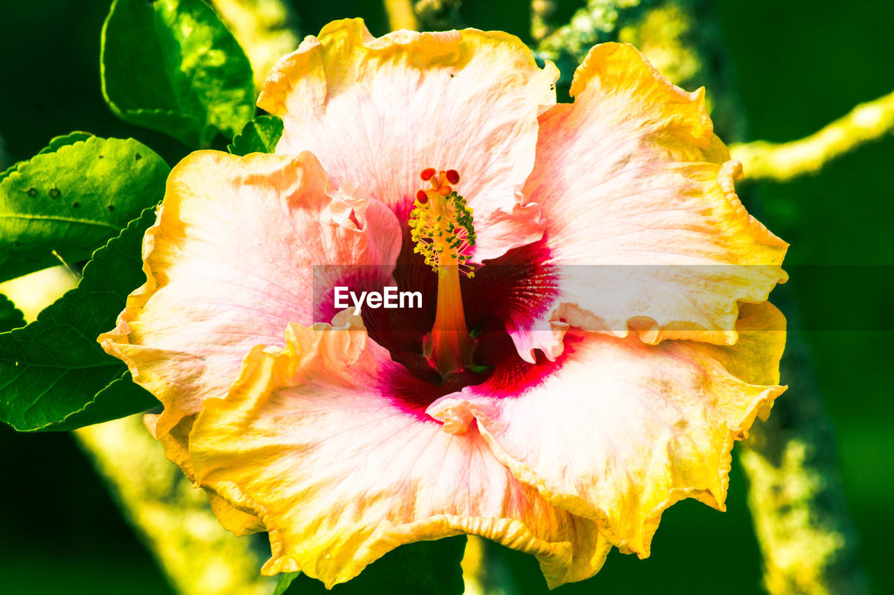 flower, petal, flower head, fragility, beauty in nature, nature, freshness, growth, focus on foreground, close-up, day, outdoors, plant, pollen, pink color, stamen, no people, blooming, hibiscus, animal themes