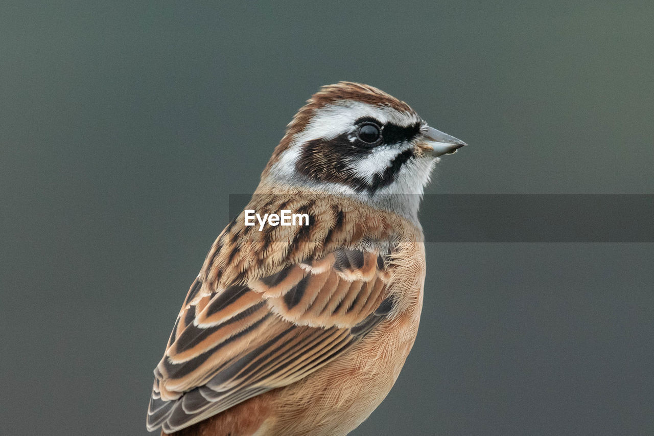 animal themes, one animal, bird, animal wildlife, animal, animals in the wild, vertebrate, close-up, copy space, no people, perching, nature, focus on foreground, day, sparrow, studio shot, looking, brown, looking away, gray, animal eye