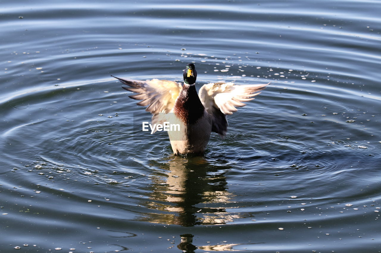 animals in the wild, bird, animal themes, animal wildlife, animal, vertebrate, one animal, water, lake, waterfront, rippled, flying, spread wings, no people, swimming, nature, day, reflection, water bird, outdoors, flapping