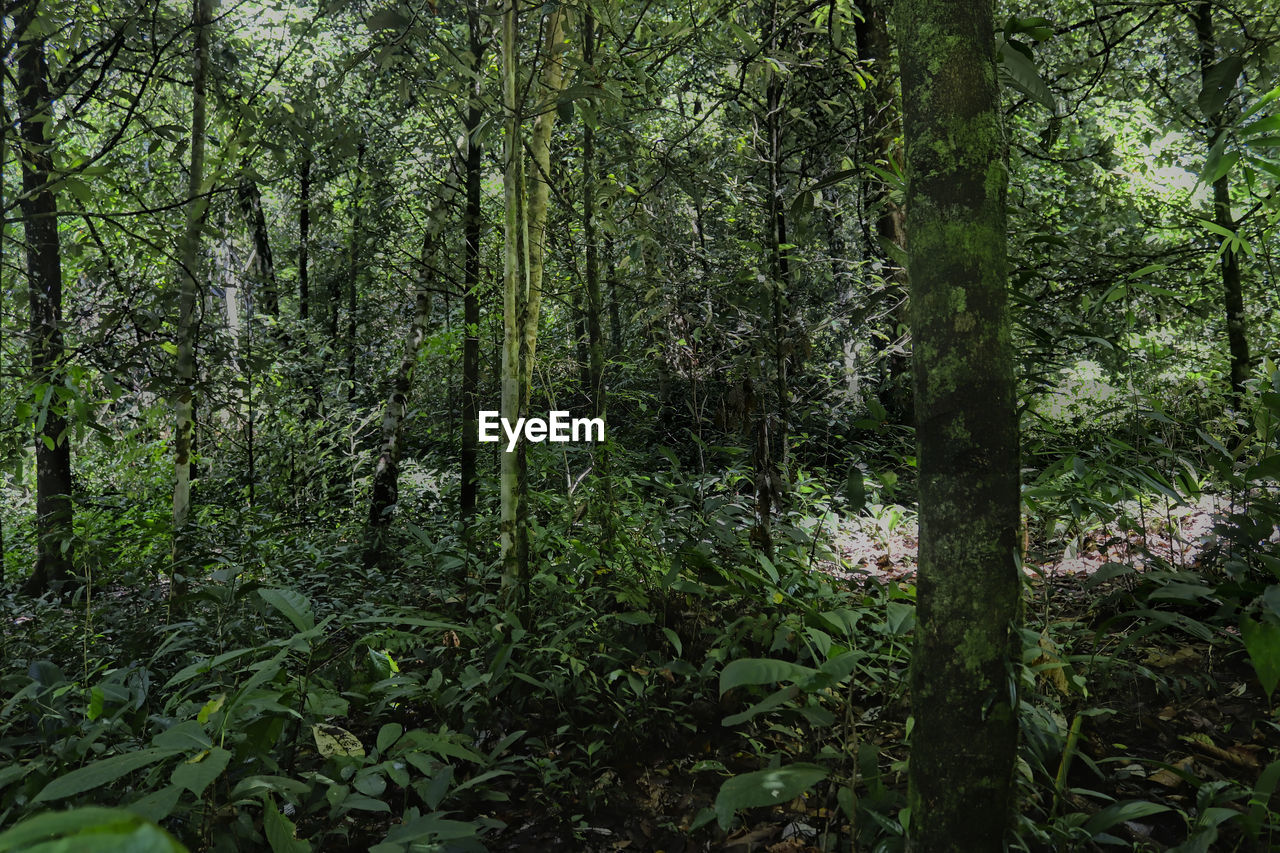 plant, forest, tree, land, growth, green color, nature, beauty in nature, tranquility, plant part, day, no people, woodland, leaf, lush foliage, foliage, outdoors, tree trunk, trunk, tranquil scene, rainforest, bamboo - plant