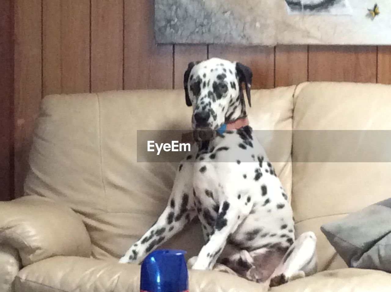 dalmatian dog, dog, pets, sofa, domestic animals, one animal, animal themes, indoors, home interior, living room, mammal, sitting, no people, day