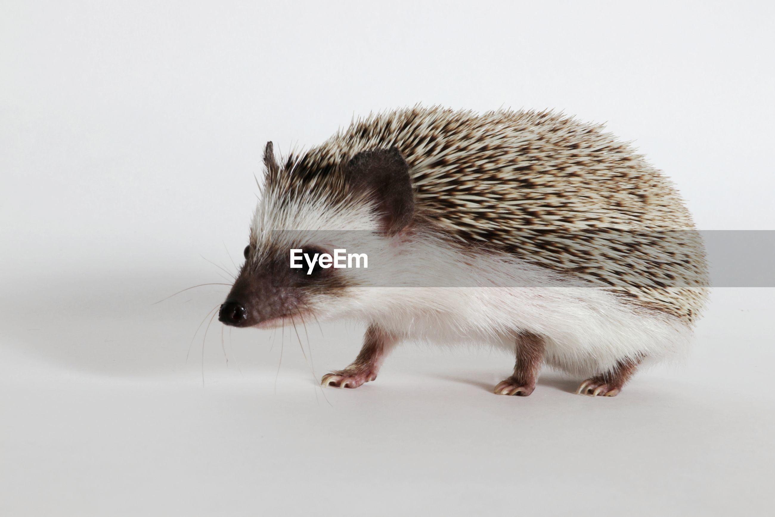Close-up of a hedgehog over white background