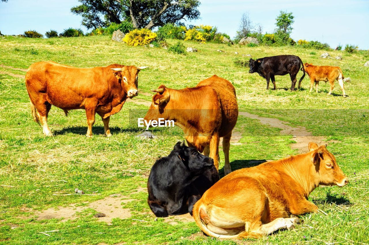 group of animals, mammal, animal, animal themes, grass, domestic animals, domestic, plant, pets, livestock, field, land, cow, vertebrate, nature, cattle, no people, young animal, green color, day, animal family, outdoors, herd, herbivorous