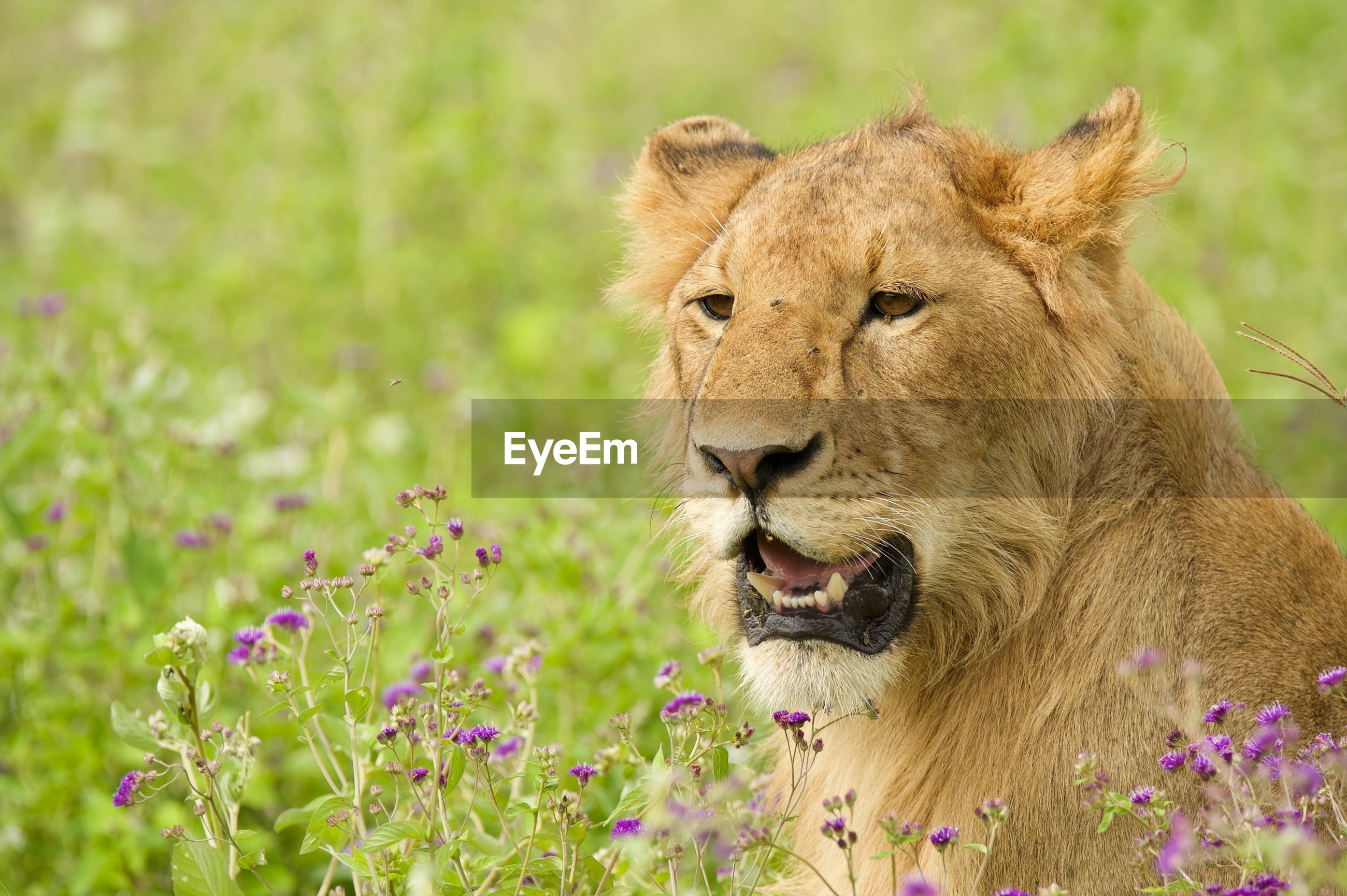 Close-up of lion looking away on field