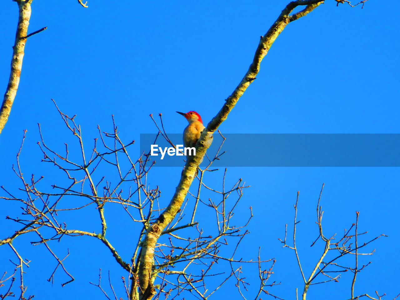 bird, branch, tree, animal themes, animal, low angle view, sky, vertebrate, plant, blue, animals in the wild, one animal, clear sky, animal wildlife, perching, nature, bare tree, no people, day, beauty in nature, outdoors