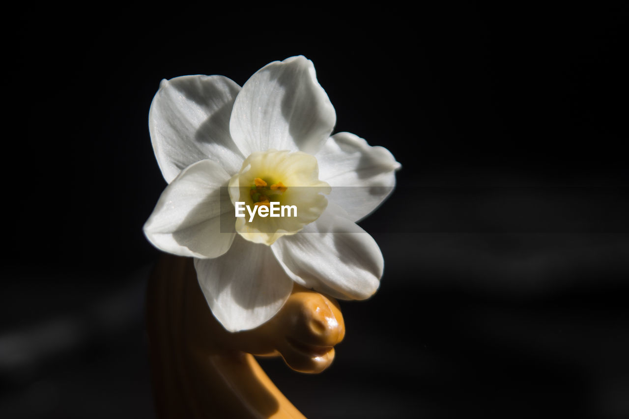 flower, petal, flower head, beauty in nature, fragility, white color, freshness, nature, black background, close-up, studio shot, blooming, no people, outdoors, day