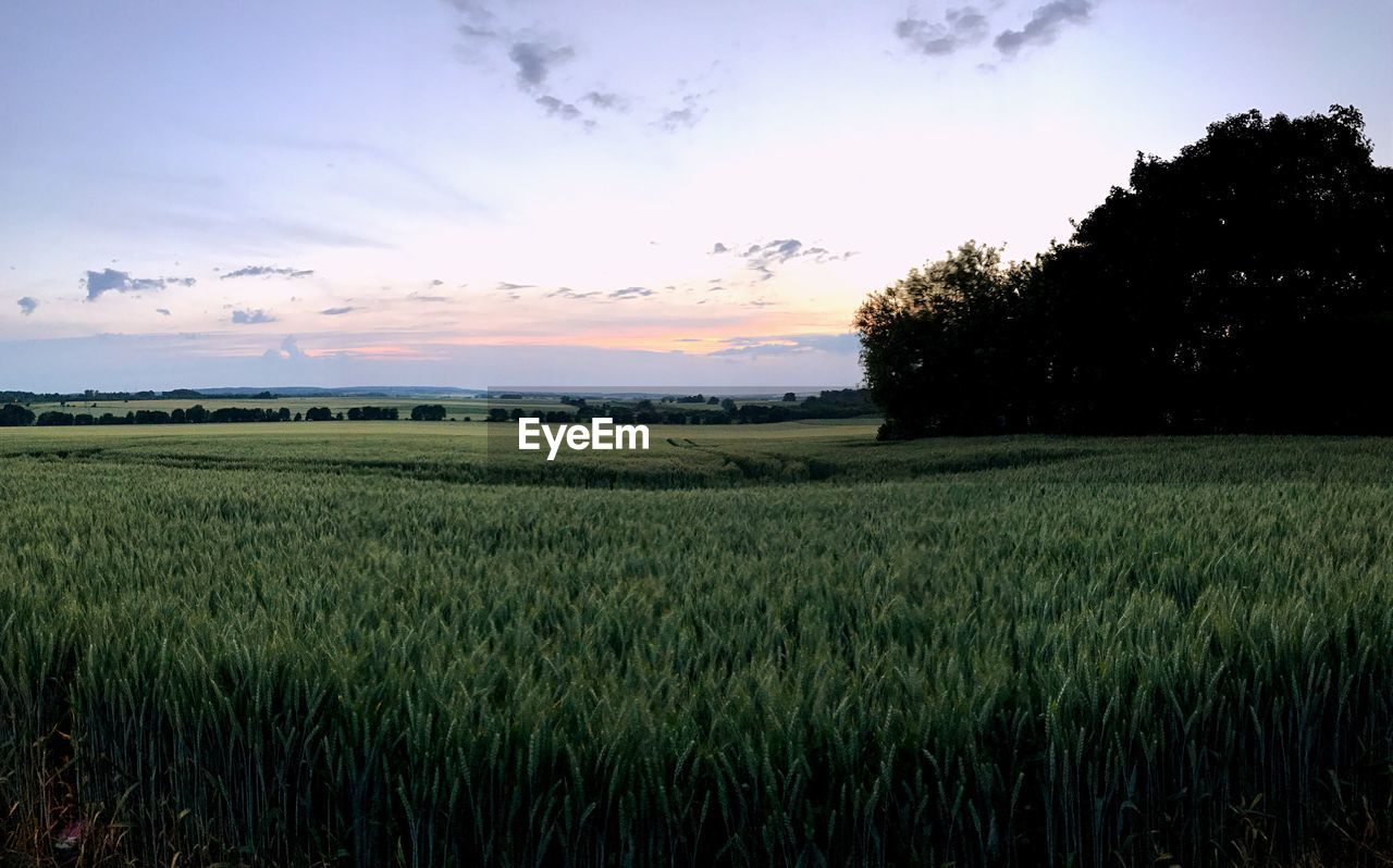 agriculture, field, growth, landscape, nature, tranquility, farm, crop, sky, tranquil scene, beauty in nature, no people, rural scene, scenics, tree, sunset, plant, cereal plant, outdoors, grass, day