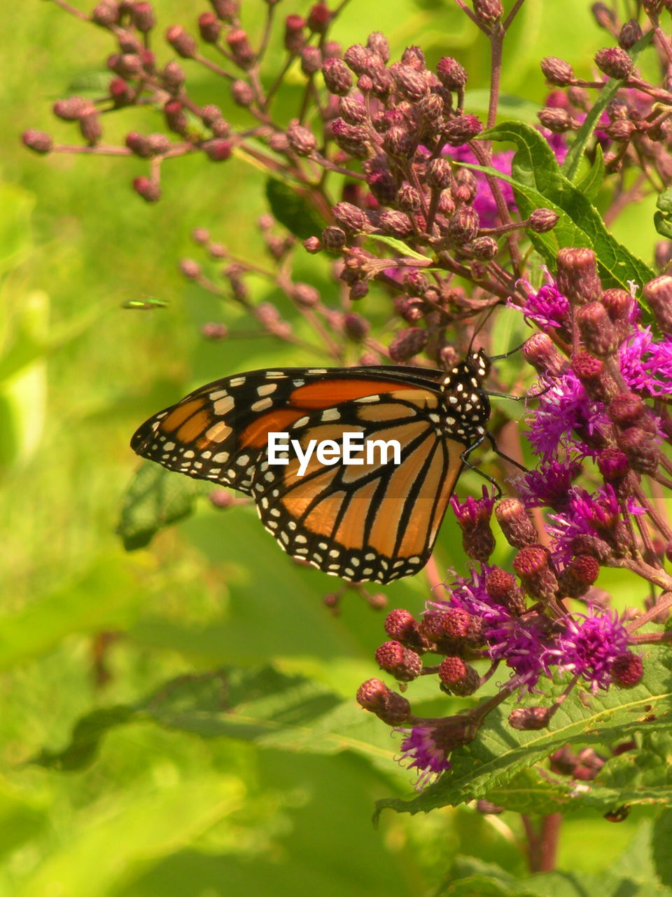flower, flowering plant, beauty in nature, animal wildlife, invertebrate, plant, insect, animals in the wild, animal themes, animal, one animal, butterfly - insect, animal wing, fragility, vulnerability, growth, nature, freshness, close-up, no people, flower head, pollination, outdoors, purple, butterfly