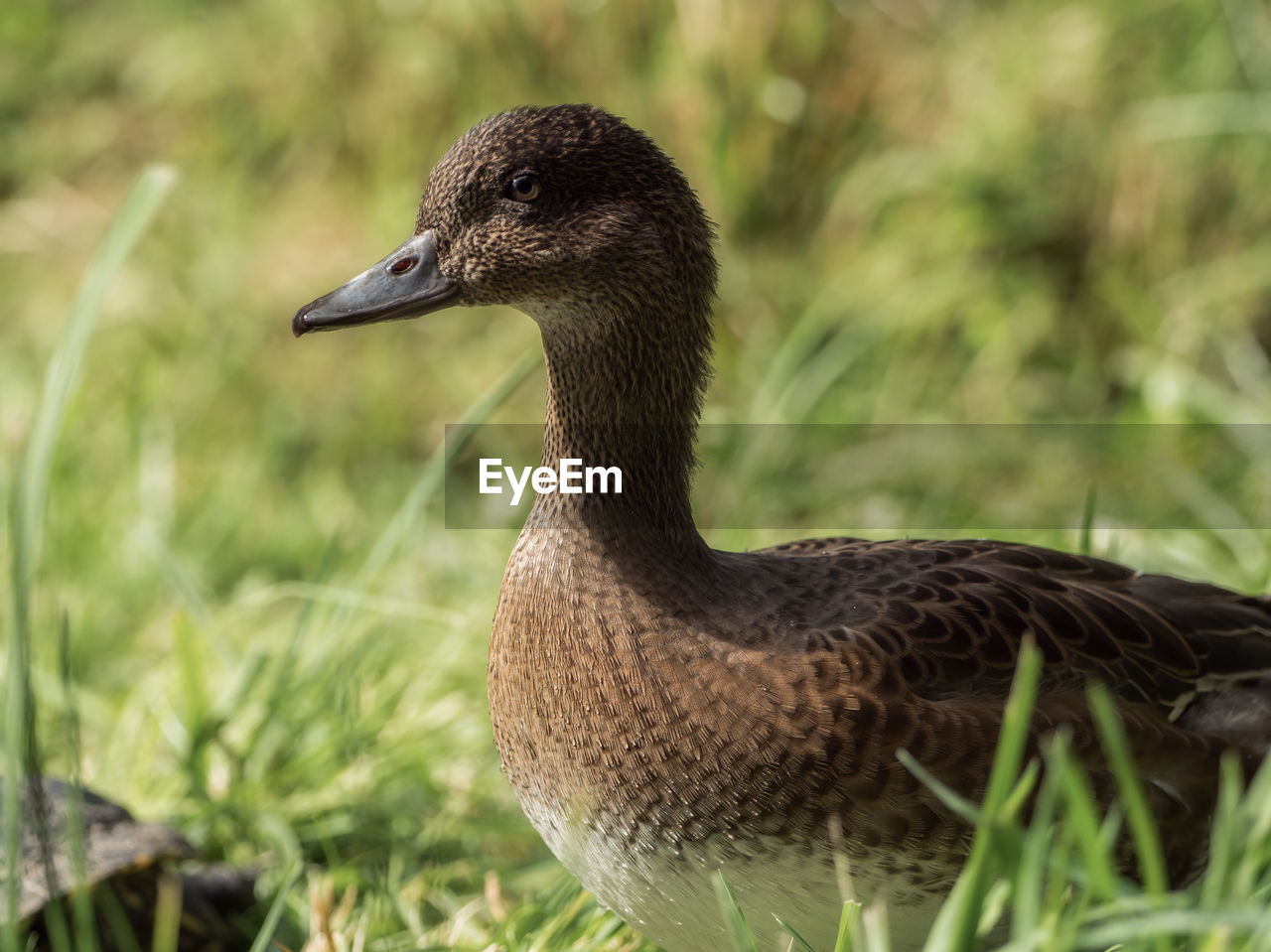 animal wildlife, animals in the wild, one animal, animal themes, vertebrate, animal, bird, nature, focus on foreground, plant, day, close-up, no people, grass, field, land, water bird, duck, looking, goose, outdoors, beak, animal head
