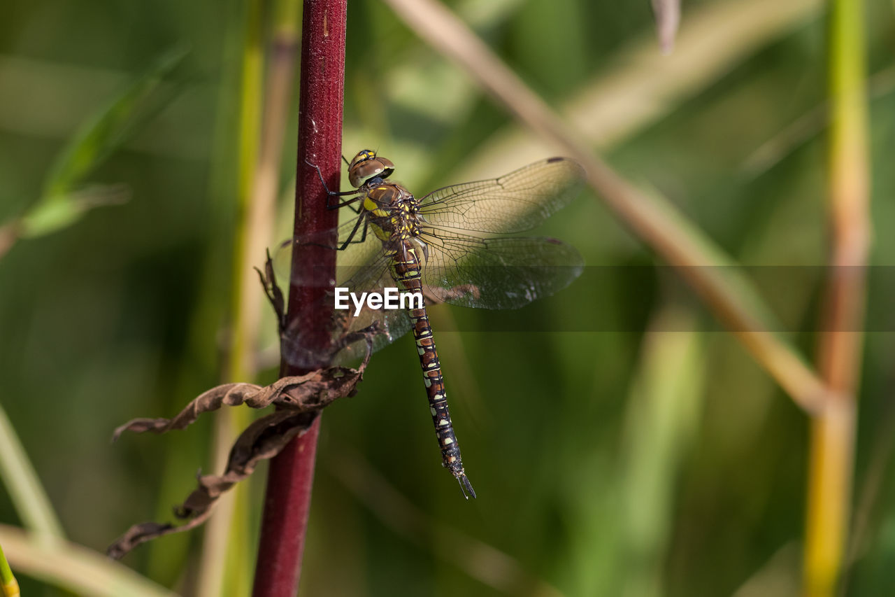 animal themes, animal wildlife, animals in the wild, animal, invertebrate, insect, one animal, plant, animal wing, focus on foreground, close-up, no people, day, nature, dragonfly, beauty in nature, plant stem, growth, outdoors, green color, butterfly - insect