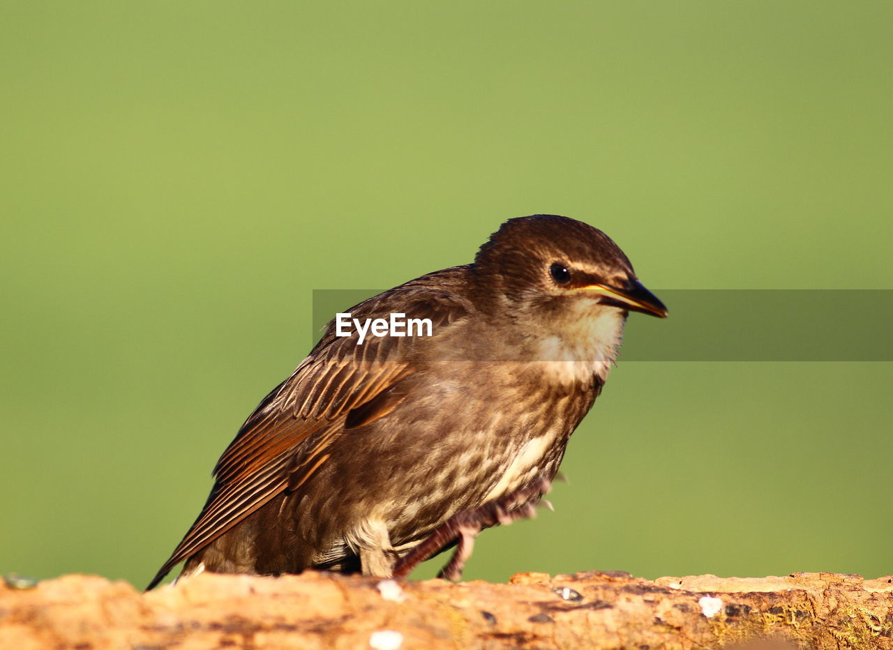 bird, vertebrate, animal themes, animal wildlife, one animal, animal, animals in the wild, perching, no people, close-up, day, nature, focus on foreground, copy space, side view, outdoors, looking, brown, beak, clear sky