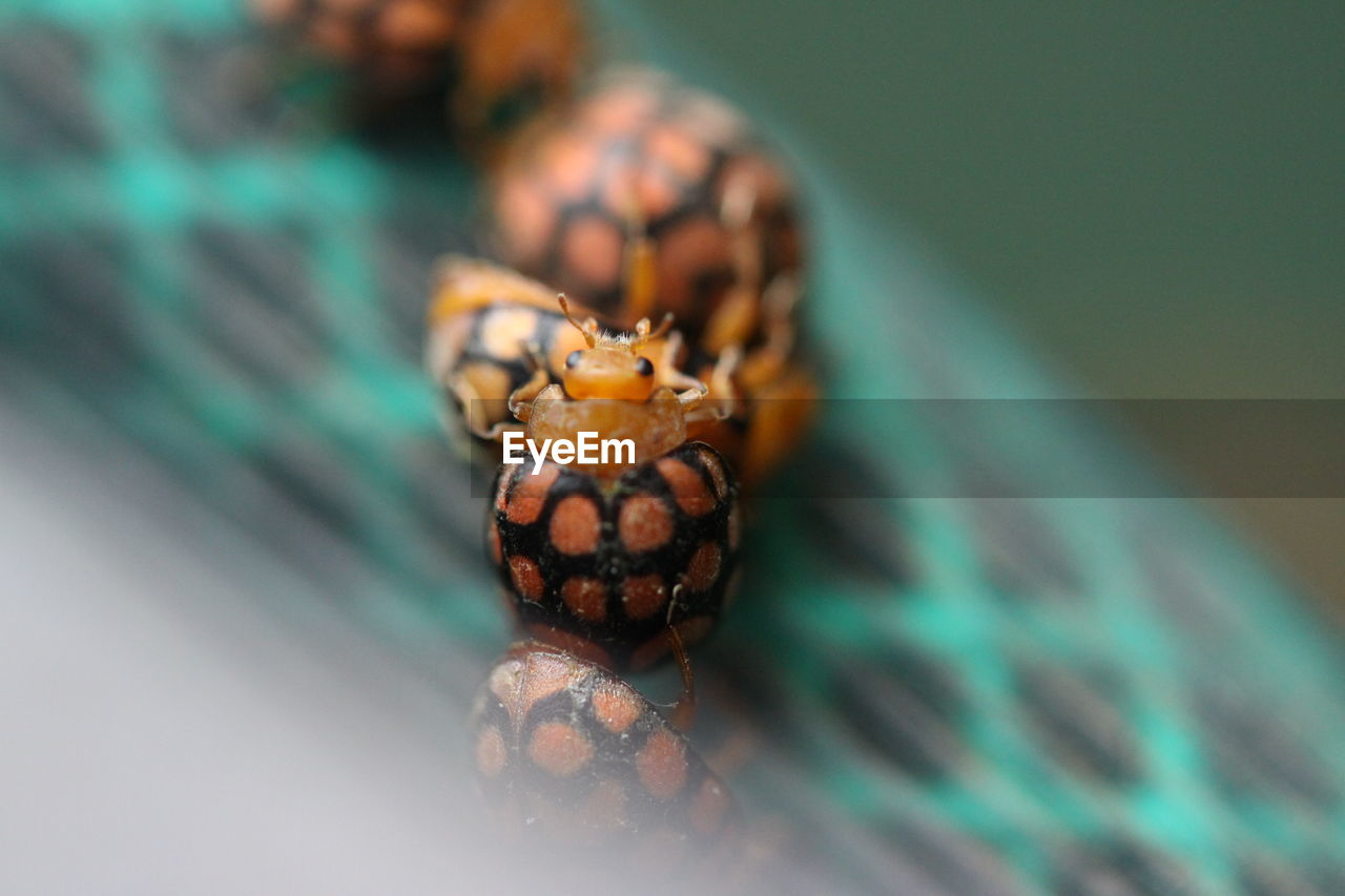 animal themes, one animal, animal, animal wildlife, close-up, animals in the wild, selective focus, invertebrate, no people, insect, nature, day, outdoors, jumping spider, spider, arachnid, focus on foreground, animal eye, arthropod, marine