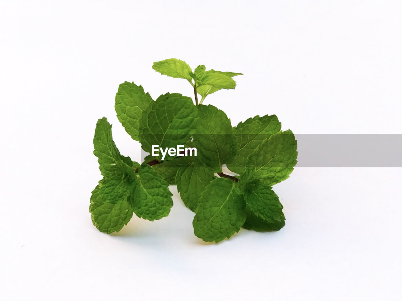plant part, leaf, studio shot, green color, white background, copy space, indoors, close-up, food and drink, no people, nature, food, freshness, still life, plant, herb, wellbeing, cut out, healthy eating, mint leaf - culinary, leaves