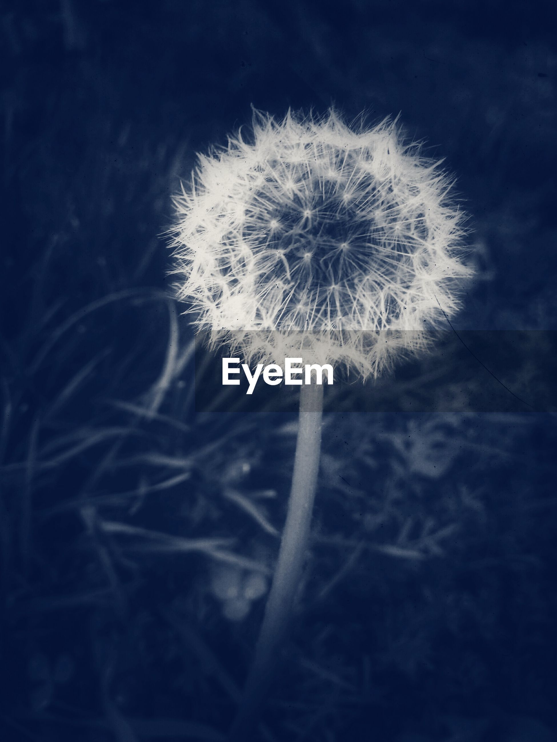 Close-up of dandelion flower against blurred background