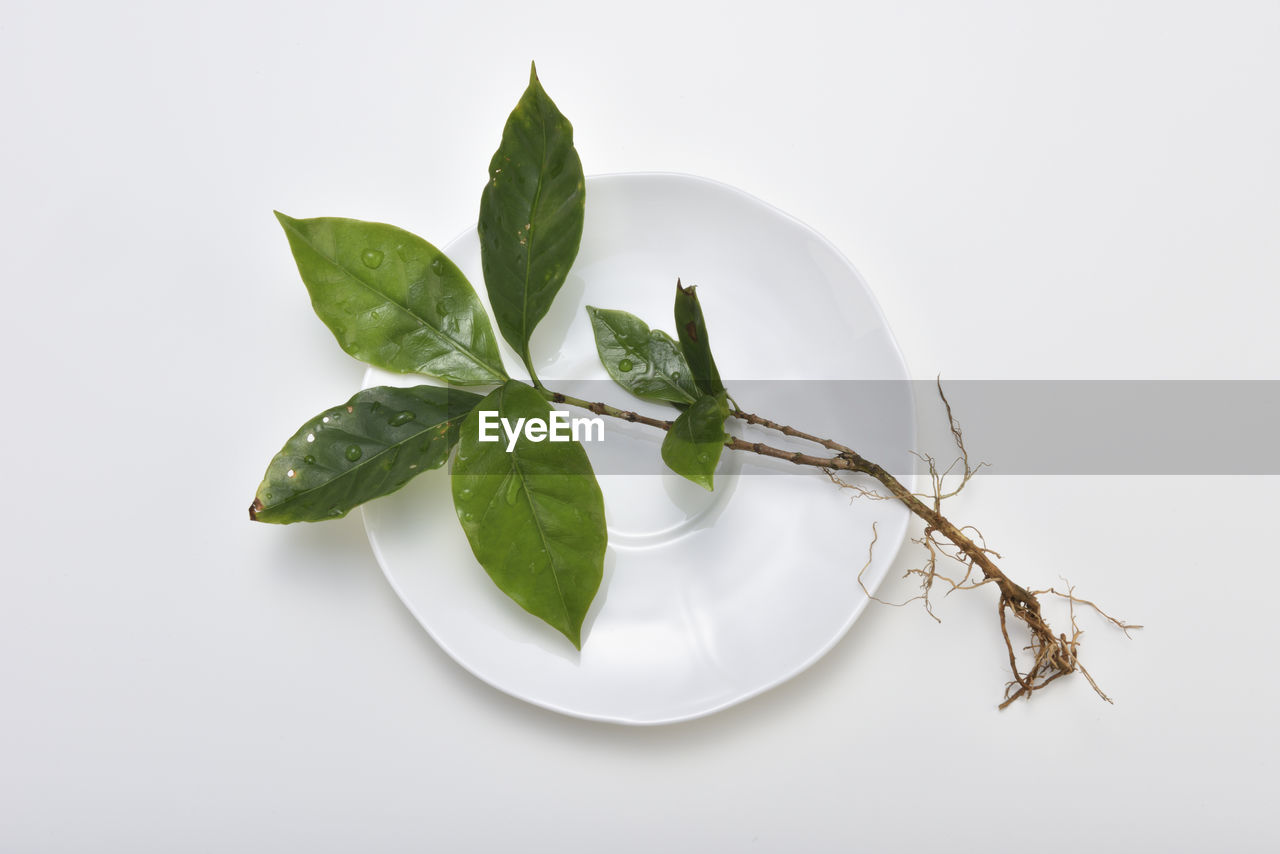 plant part, leaf, white background, studio shot, food and drink, food, indoors, no people, close-up, freshness, nature, still life, green color, plant, copy space, herb, wellbeing, cut out, healthy eating, leaves