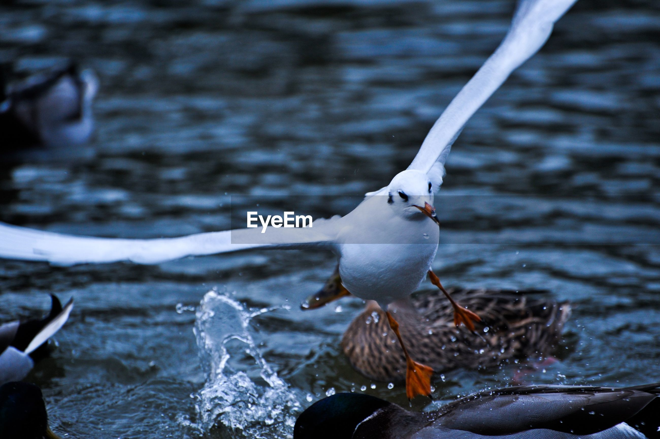 Close-up of seagull landing on water in sea