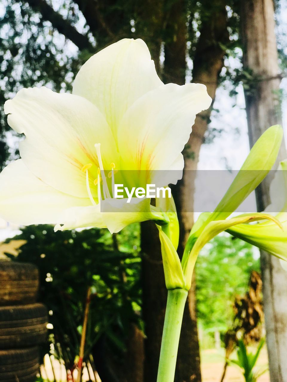 flower, growth, petal, beauty in nature, plant, nature, fragility, freshness, no people, outdoors, day, close-up, flower head, day lily